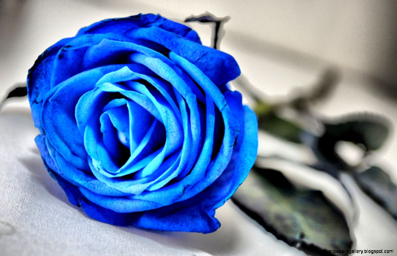 Blue Rose   Flowers Wallpaper 33341025   Fanpop   Page 2