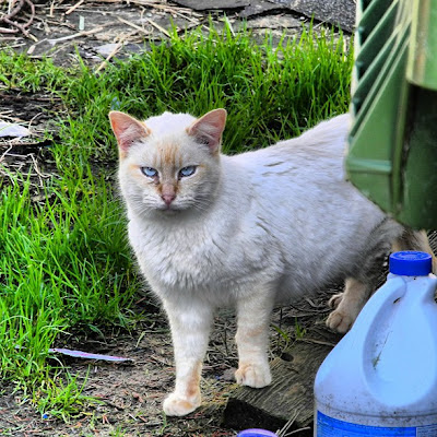 white blue-eyed feral cat