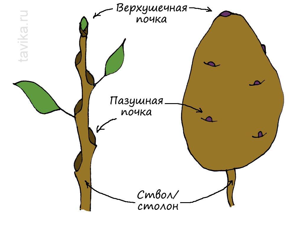 Строение клубня картофеля