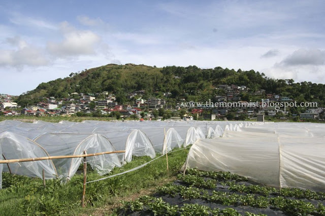 Strawberry fields covered by plastic for protection