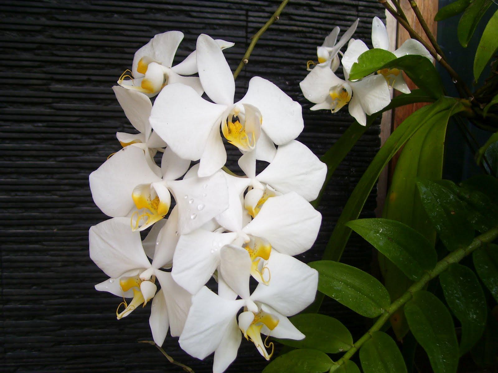 Anggrek Bulan godean.web.id