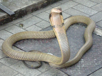 serpiente cobra