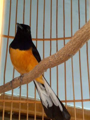 Burung Murai Batu Jambi