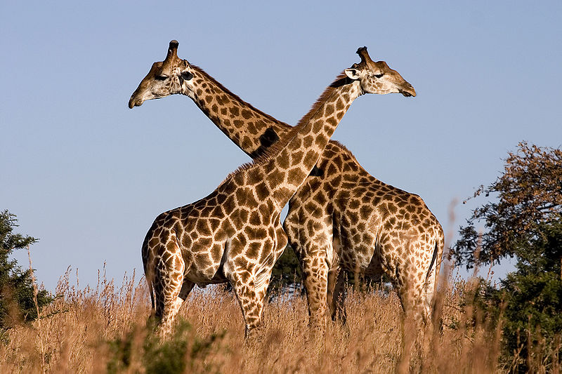 pictures of giraffes in africa.  Giraffes are found in parts of Africa
