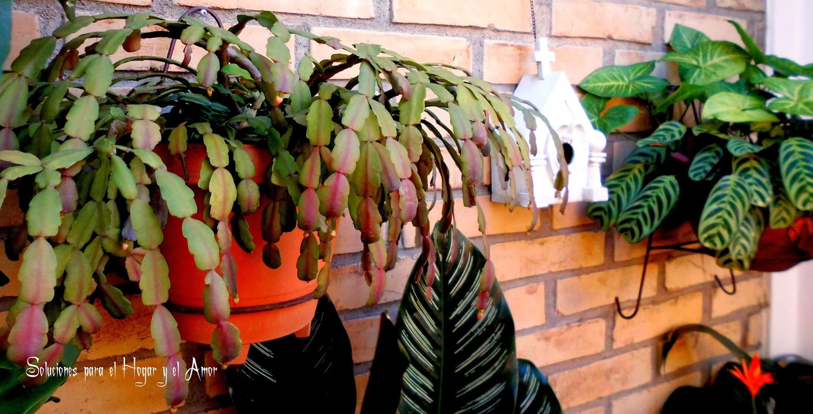 Planta Bailarina Schlumbergera