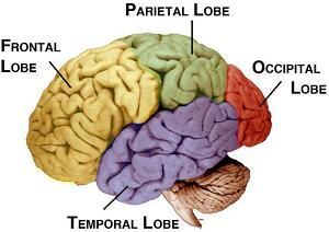 Pengertian dan fungsi Inferior Lobe Parietal (Perbedaan ILP pria dan wanita)