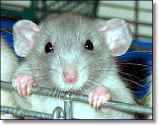 Picture of pet rat
