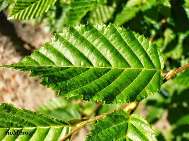 CARPE: Carpinus betulus
