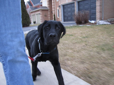 This is a somewhat blurry action shot of black lab puppy Romero walking down the sidewalk in our neighbour in a nice heel position. The picture is taken at his level, so all you see of his handler is one blue-jeaned left leg as it is stepping forward. Romero's left leg is also stepping forward, and his shoulders are lined up with his handler's leg. His red leash hangs in a small J position from his blue and gray collar. Romero's head is looking towards the camera, and it is the only part of the picture really in focus. His wet black nose looks like a perfect button and his eyes look like shiny black marbles.