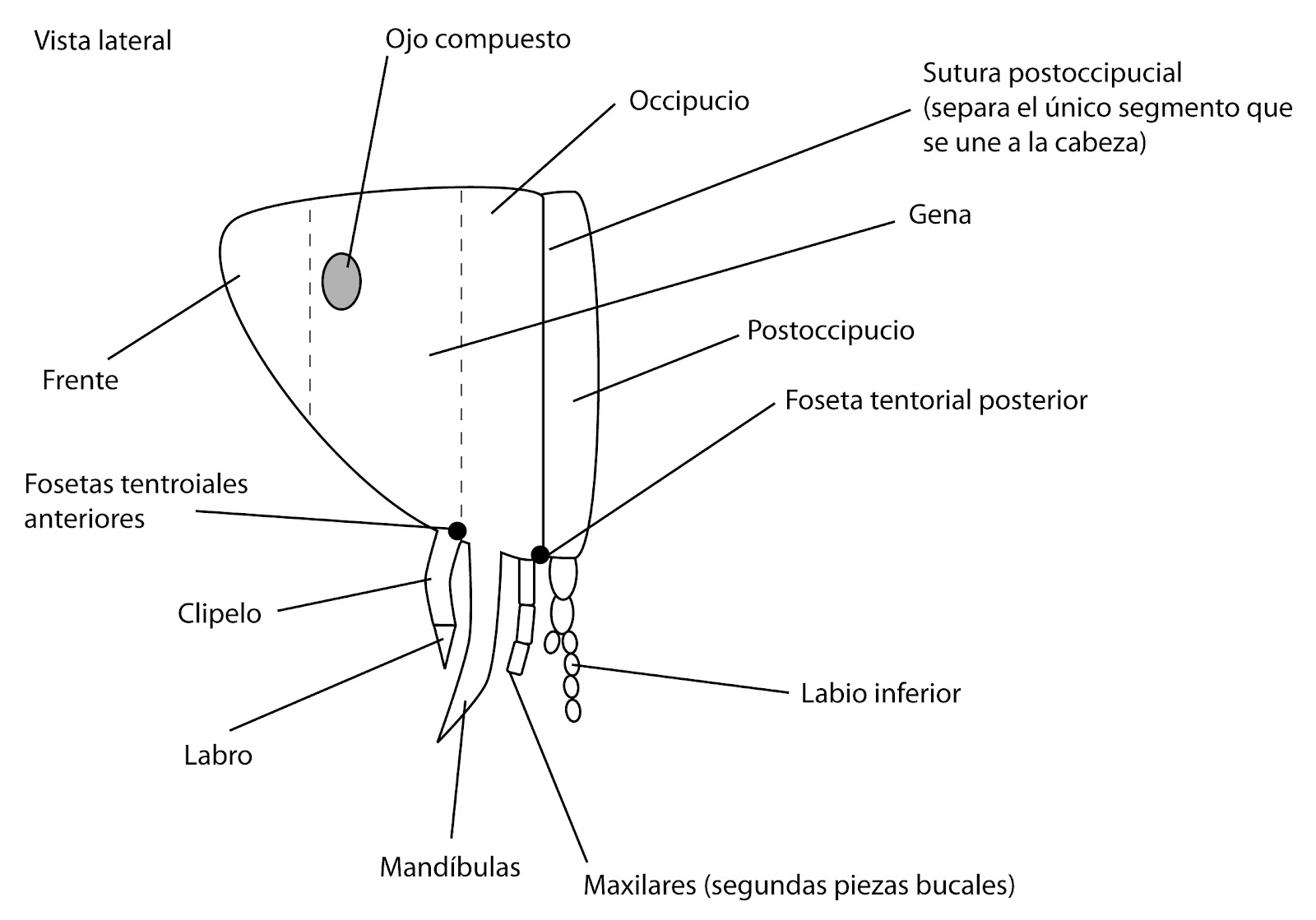 el moderno prometeo: Anatomía de Insectos: Cabeza