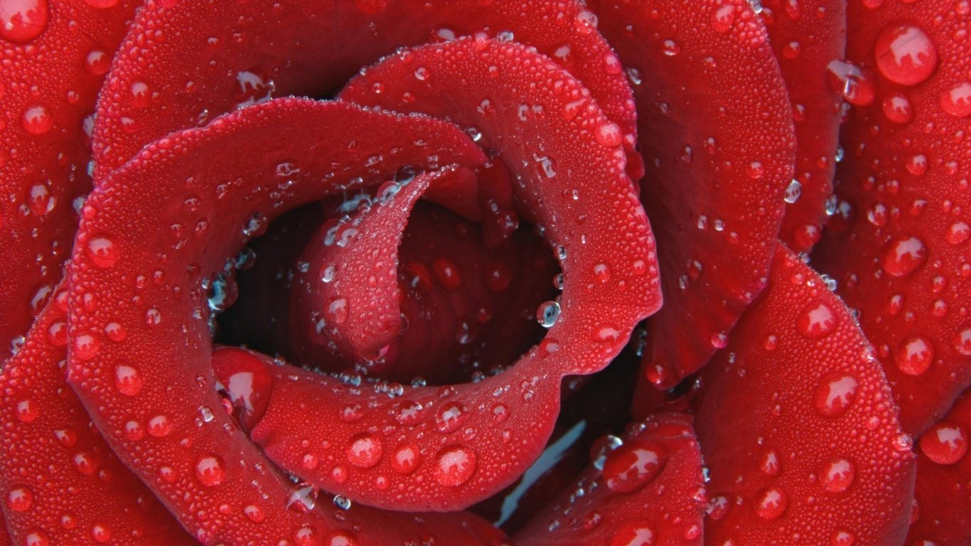 water drops on red rose wallpapers - Water Drops on Red Rose Wallpapers HD Wallpapers
