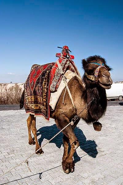 Uchisar Camel