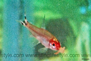 Fire head tetra fish | Rummy nose tetra fish | rednose tetra fish picture