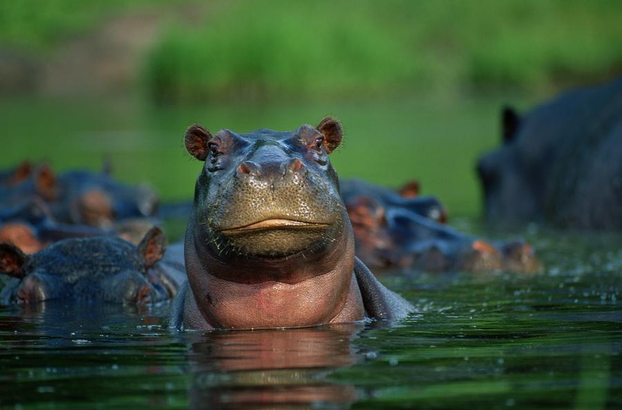 Hippopotamus | The Biggest Animals Kingdom