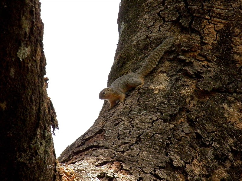 Sun squirrel lake tana ethiopia