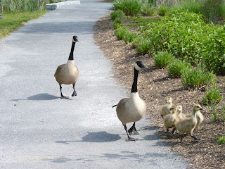 goose family crossing path