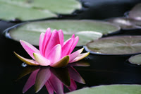 The Lotus flower grows in muddy water and rises above the surface to bloom with remarkable beauty