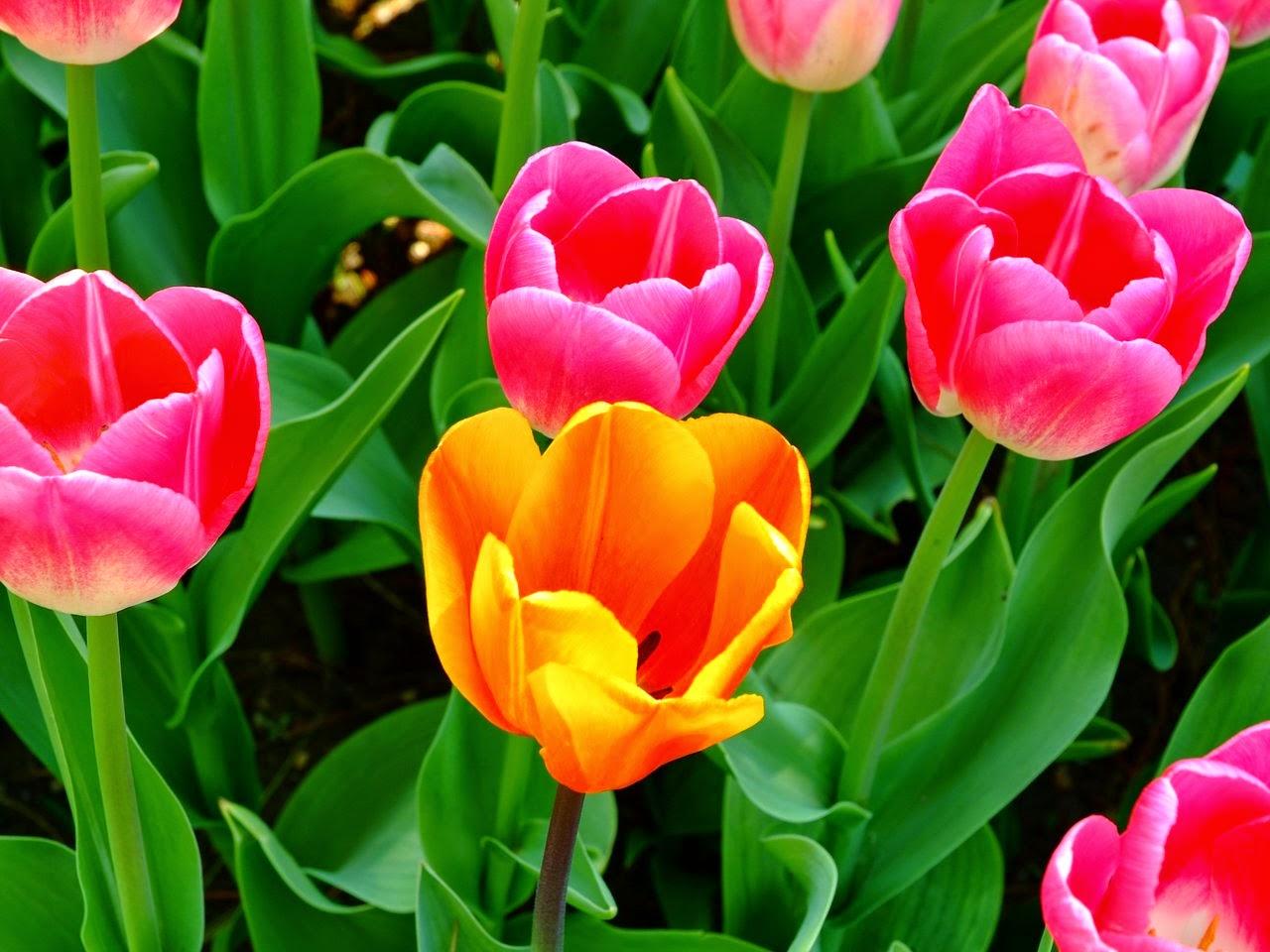 cute tulips pink flowers - photo #4