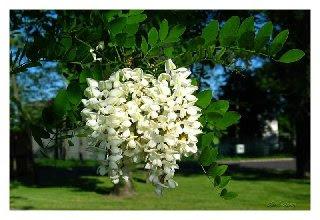 Hanakotoba (Bahasa Bunga) Akasia2