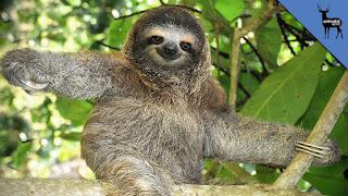 proud sloth