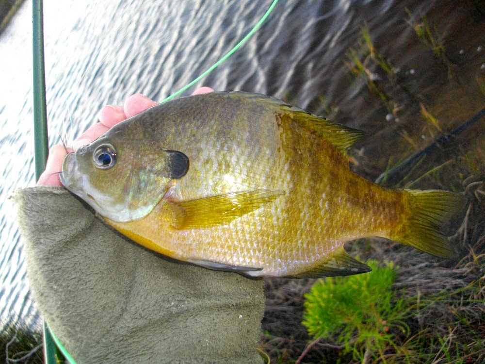 Sean mills fly fishing trout bluegill and bass at for Bluegill fly fishing
