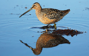 Long Billed Dowitcher (Photo Library)