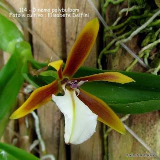 Epidendrum polybulbon, Encyclia polybulbon, Bulbophylum occidentale,Epidendrum bulbophylum,Epidendrum cubincola,Dinema cubincola