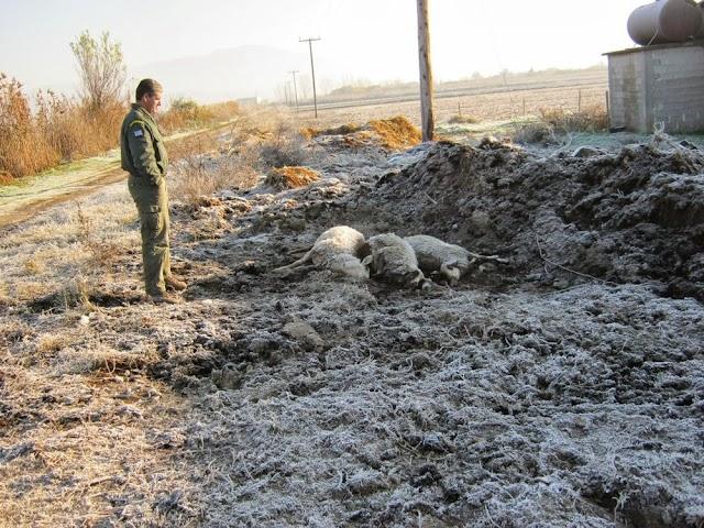 Η ΚΟΜΑΘ πήγε στην κτηνοτροφική μονάδα των Σερρών  όπου οι λύκοι κατασπάραξαν δεκάδες πρόβατα