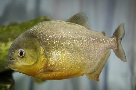 Natterers Piranha