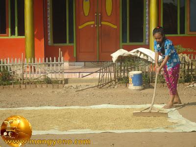 Gadis penjemur padi