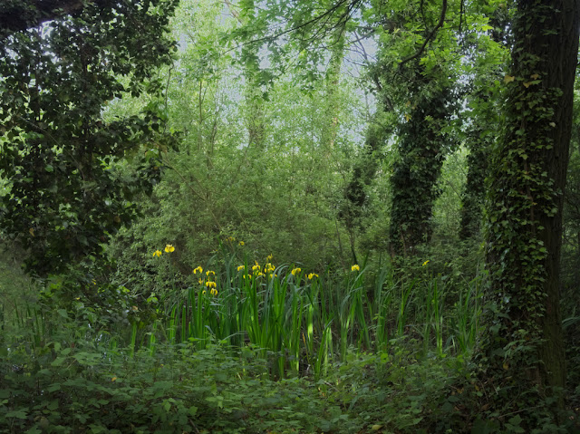 Yellow irises amongst reeds and trees on edge of lake