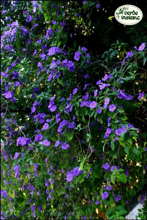 Settembre 2013 for Arbusti fioriti perenni