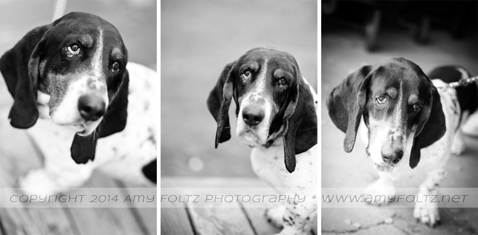 black and white photos of basset hound - Terre Haute photographer