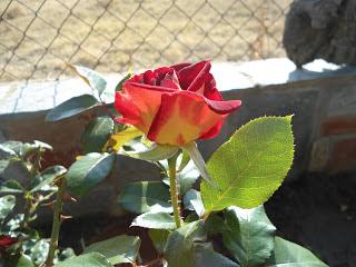 Ένα βελούδινο οκτωβριανό τριαντάφυλλο...