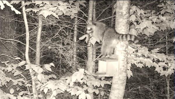 Clever Raccoon Steals Entire Bird Feeder