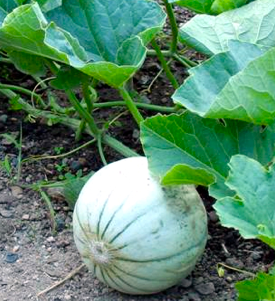 http://fr.wikipedia.org/wiki/Melon_%28plante%29