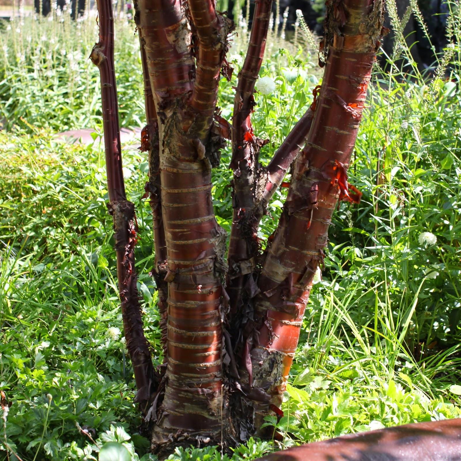 Tibetansk kirsebær
