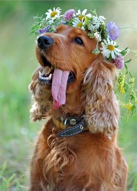 cocker spaniel con flores en la cabeza