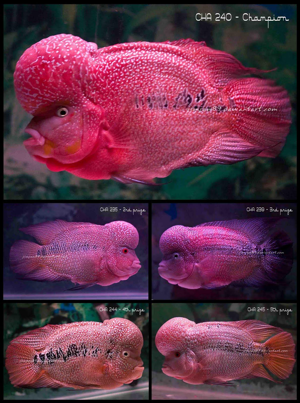 Flowerhorn The Hybrid Cichlids: BiG 5 Liga Louhan ...