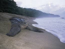 Leatherback Turtle, Grande Riviere, Trinidad