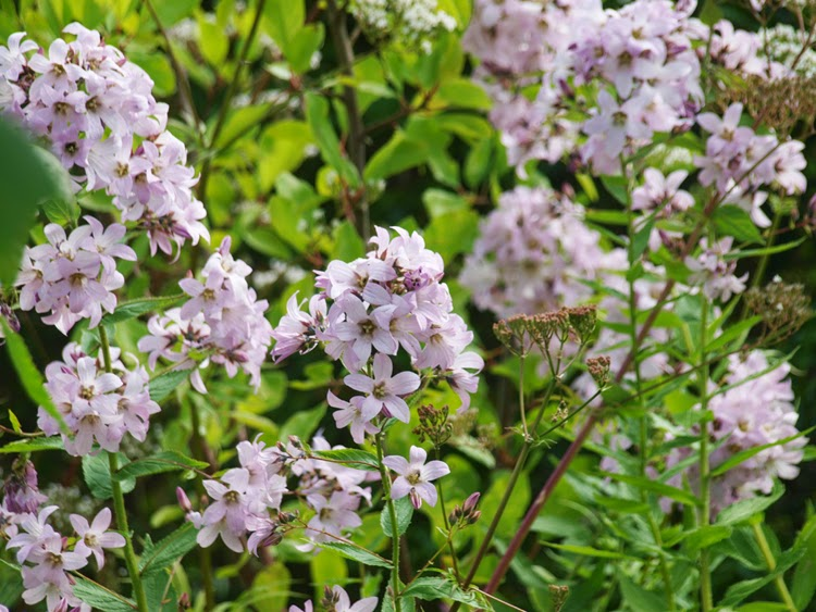 Mælkeklokke, campanula lactiflora - smuk høj staude i haven