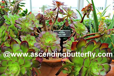 Aconium Plant