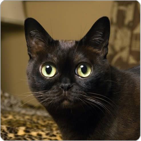 Http Piperbasenji Blogspot Com 2013 11 Bombay Cats Html