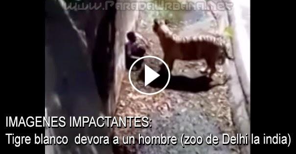 IMAGENES IMPACTANTES: Tigre blanco se come a un hombre (zoo de Delhi la india)