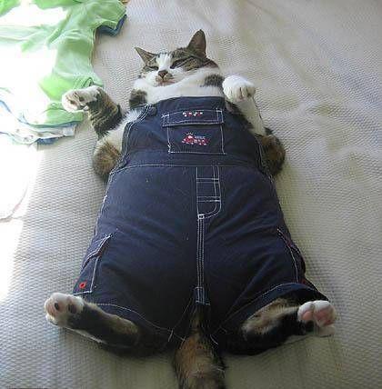 Gambar Kucing Gendut Terkeren