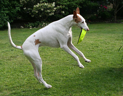 Ibizan Hound High Speed Run and Jump ~ planetanimalzone