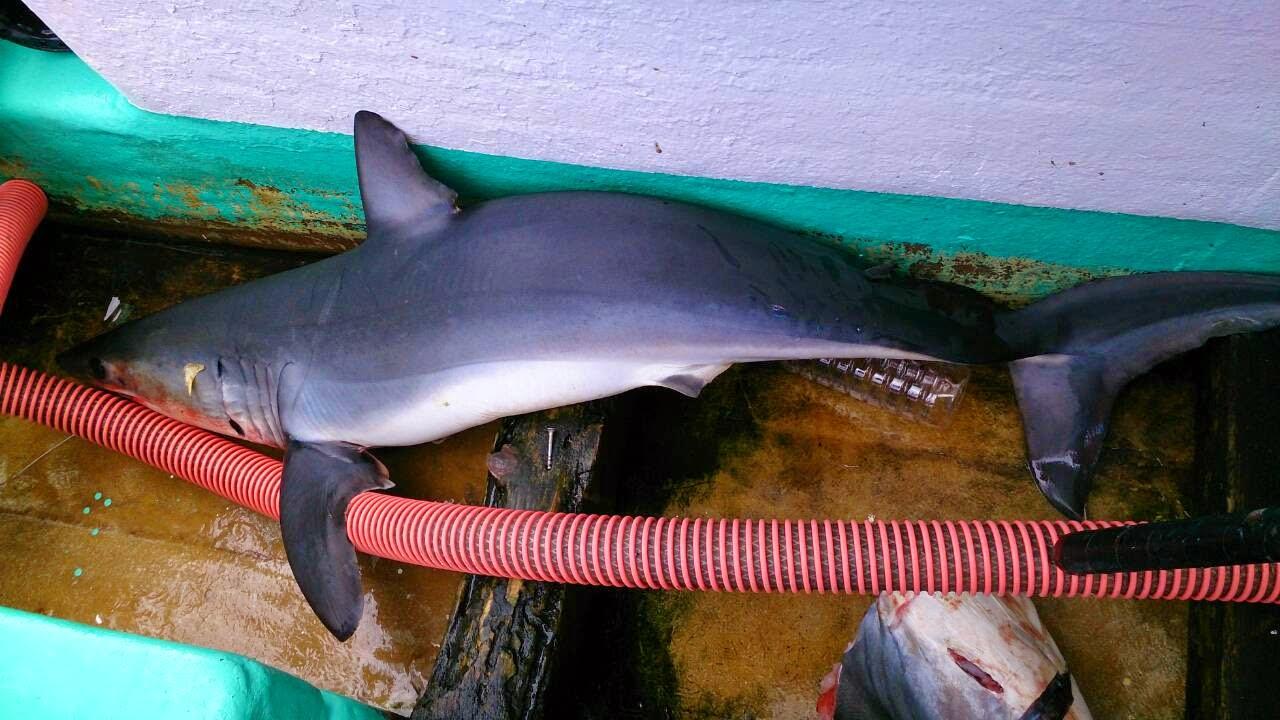 深海ザメなのか分からないが、その辺にサメが突っ込んで死んでいる