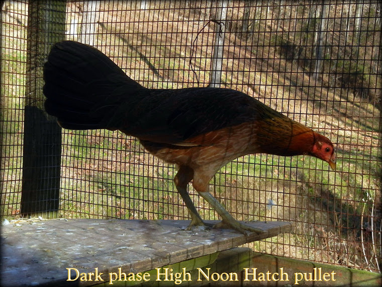 High Noon Hatch pullet dark phase