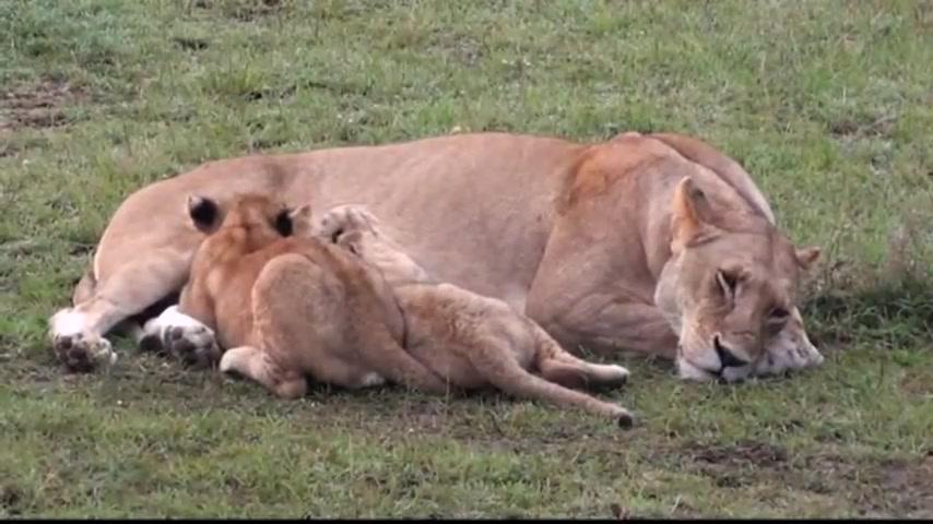Beautiful African Animals Safaris The African Beautiful Lion King