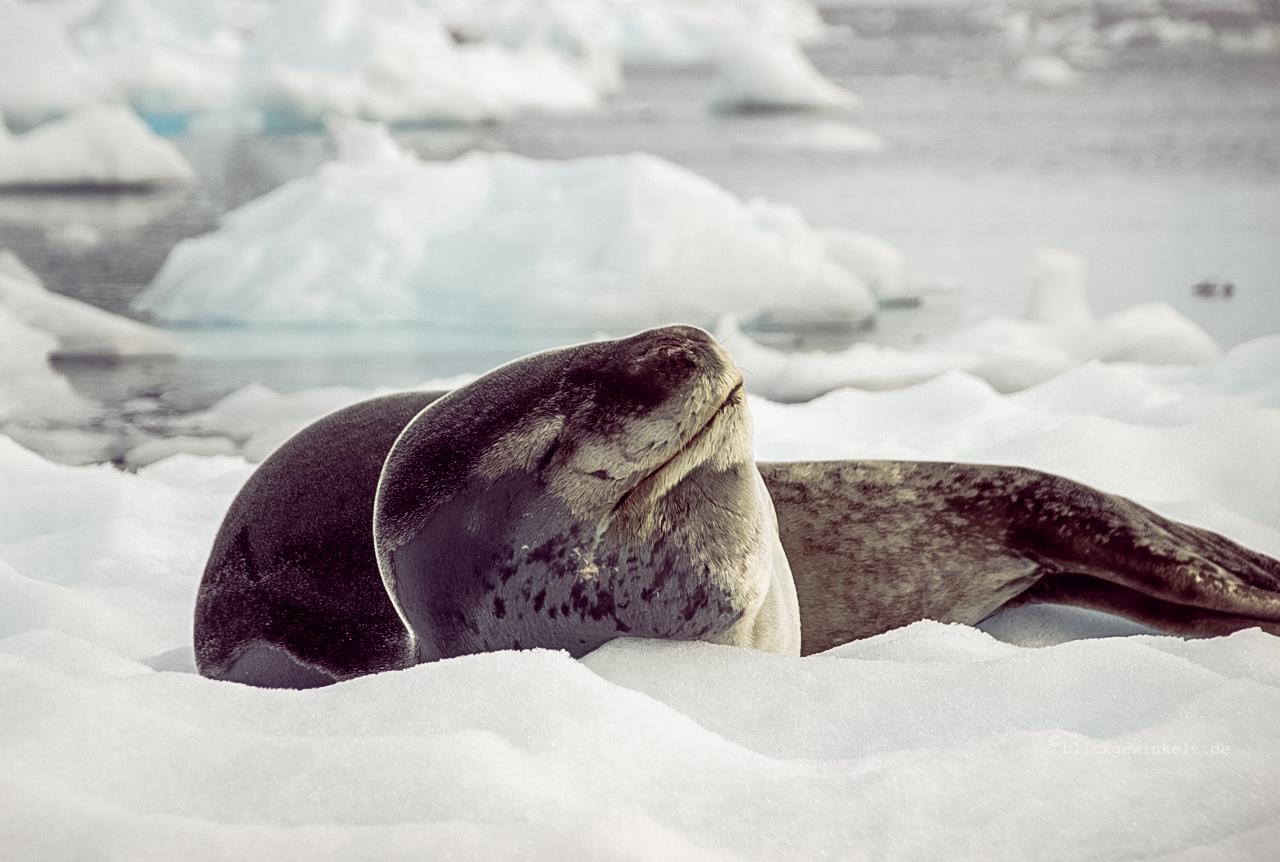 Weddelrobbe in der Antarktis